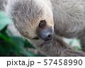 フタユビナマケモノ 57458990
