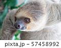 フタユビナマケモノ 57458992