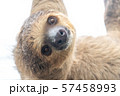 フタユビナマケモノ 57458993