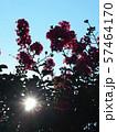 太陽とサルスベリ 57464170