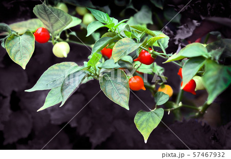 畑で栽培されているビキーニョとうがらし 57467932