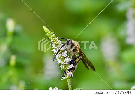 キンケハラナガツチバチ 57475393