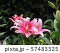 ゆりの花 57483325