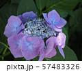 紫陽花 57483326