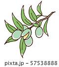 アーモンドの実と枝 57538888