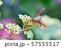 セグロアシナガバチ 57555517