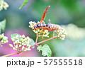 セグロアシナガバチ 57555518