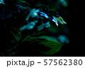 紫陽花 57562380