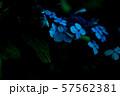 紫陽花 57562381