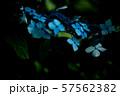 紫陽花 57562382