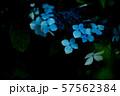 紫陽花 57562384