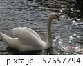 白鳥 ハクチョウ 57657794