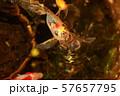 金魚 朱文金 57657795