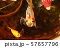 金魚 朱文金 更紗金 57657796