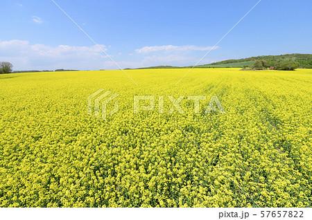 一面の菜の花と青空(北海道 安平) 57657822
