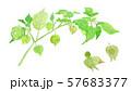 Physalis pubescens センナリホオズキ 57683377