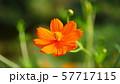オレンジ色のコスモス 57717115