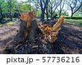 台風の被害で倒れた大木 57736216