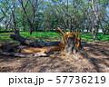 台風の被害で倒れた大木 57736219