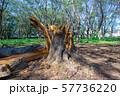 台風の被害で倒れた大木 57736220