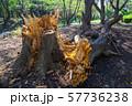 台風の被害で倒れた大木 57736238