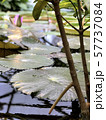 The surface of a pond with leaves of water lilies 57737084