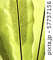 Two green leaves of the tropical plant 57737156