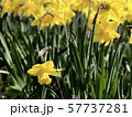 Meadow of yellow narcissus flowers close up 57737281