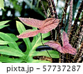 Two red arrow-shaped leaves of tropical plant, top view 57737287