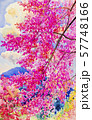 Watercolor painting landscape of cherry flowers. 57748166