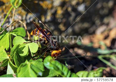 台風で巣を失ったスズメバチ 57759578