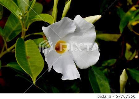 三鷹中原に咲く白いサンパラソル(マンデビラ) 57767550