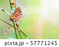 Propagation of Cigaritis Syama butterfl 57771245