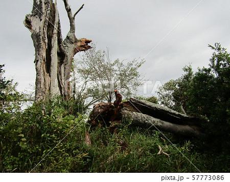 茨城県一だと言うモッコクの大木が倒れました 57773086