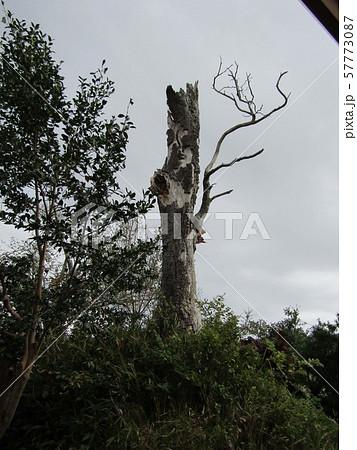 茨城県一だと言うモッコクの大木が倒れました 57773087