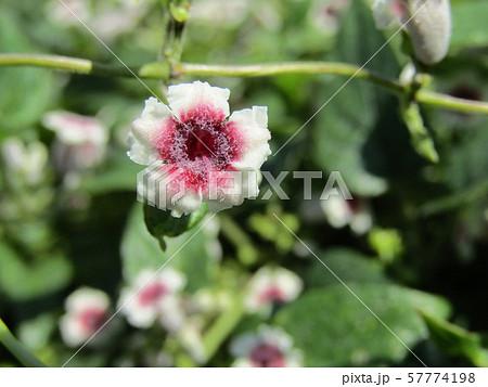 ヘクソカズラと言う酷い名前の花 57774198