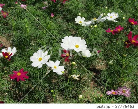秋の花の代表白色のコスモスの花 57776462