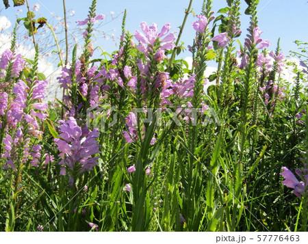 この紫の花はカクトラノオの花 57776463