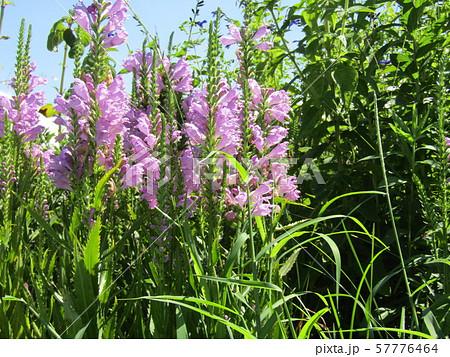 この薄紫の花はカクトラノオの花 57776464