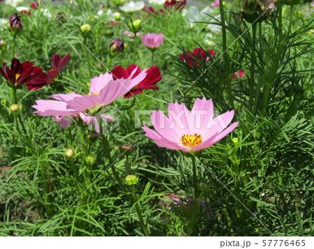 秋の花の代表桃色のコスモスの花 57776465