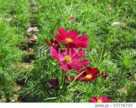 秋の花の代表赤色のコスモスの花 57776737