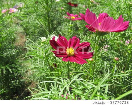 秋の花の代表赤色のコスモスの花 57776738