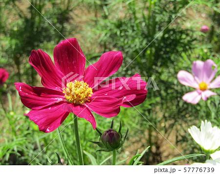 秋の花の代表赤色のコスモスの花 57776739