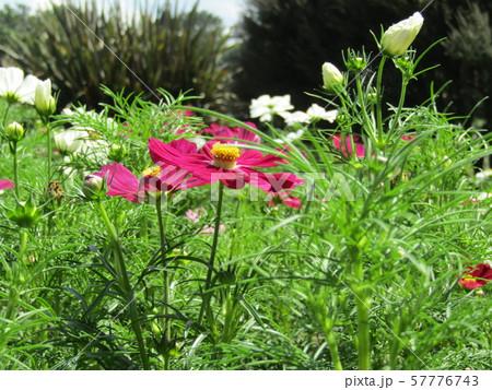 秋の花の代表赤色のコスモスの花 57776743