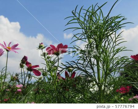 秋の花の代表赤色のコスモスの花 57776794