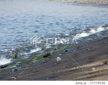 検見川浜で朝の給餌中のミユビシギ 57778596