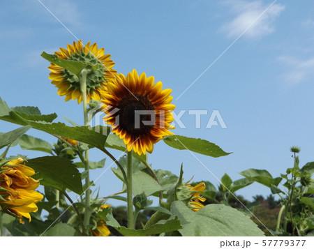 夏の大きな赤色い花はヒマワリの花 57779377