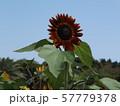 夏の大きな赤色い花はヒマワリの花 57779378