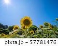 ひまわり 57781476