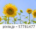 ひまわり 57781477